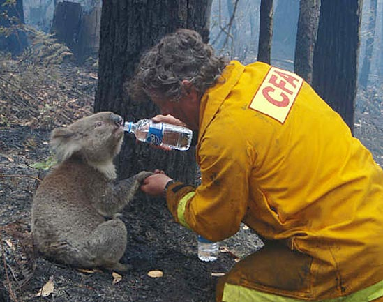 Resultado de imagen de koala sam
